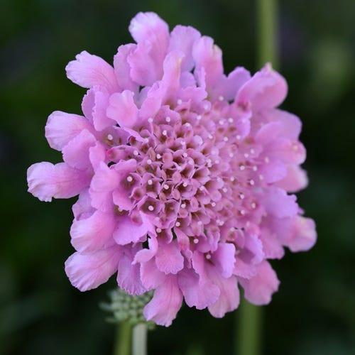Scabiosa col. 'Flutter Rose Pink'