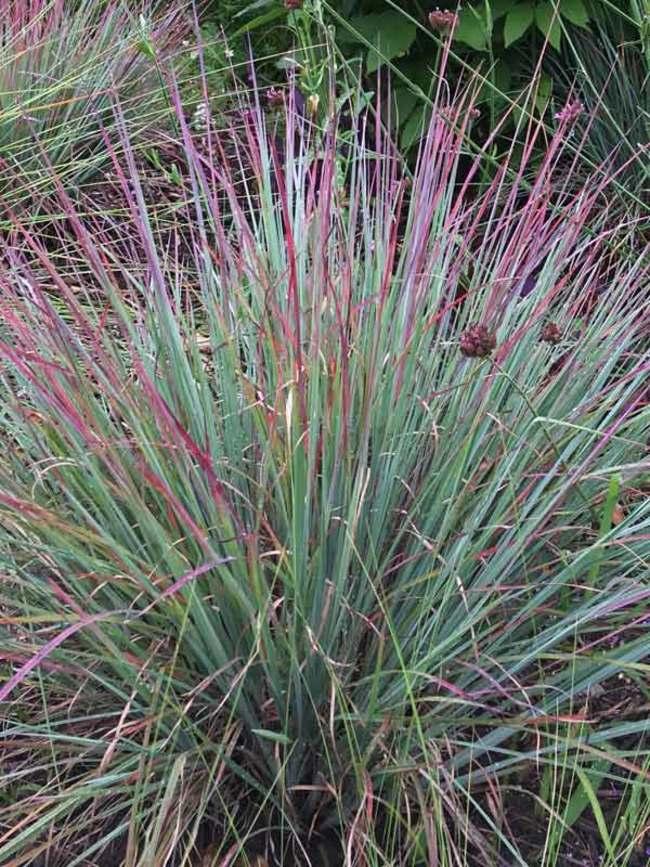 Grass - Schizachyrium 'Standing Ovation'