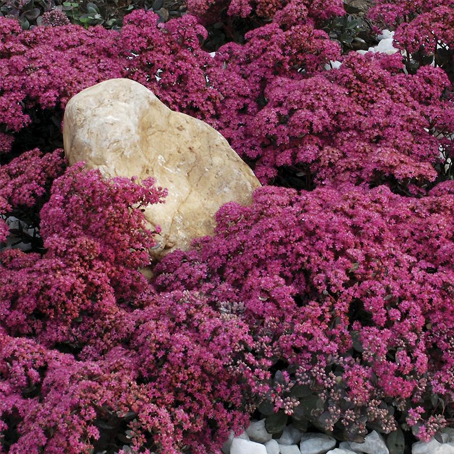 Sedum Sunsparkler 'Dazzleberry'