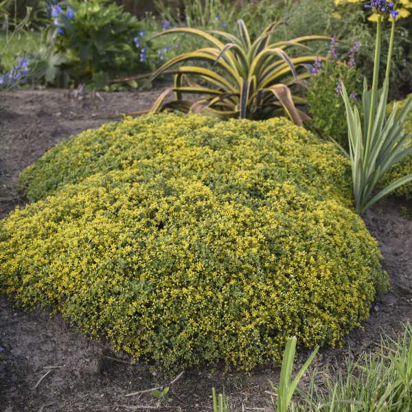 Sedum 'Rock 'N Grow Yellow Brick Rd'