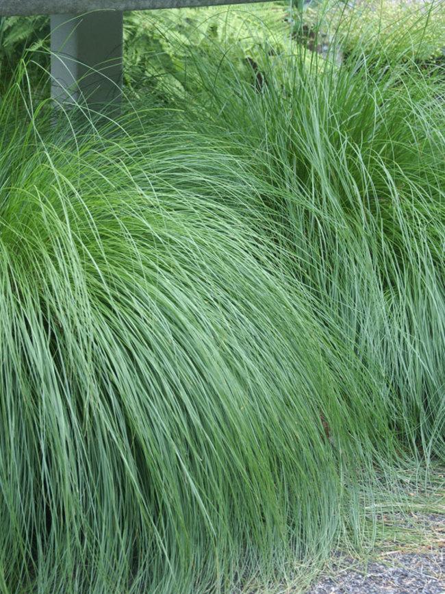 Grass - Sporobolus heterolepis