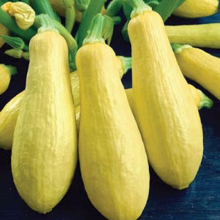 Squash 'Yellow Straightneck'