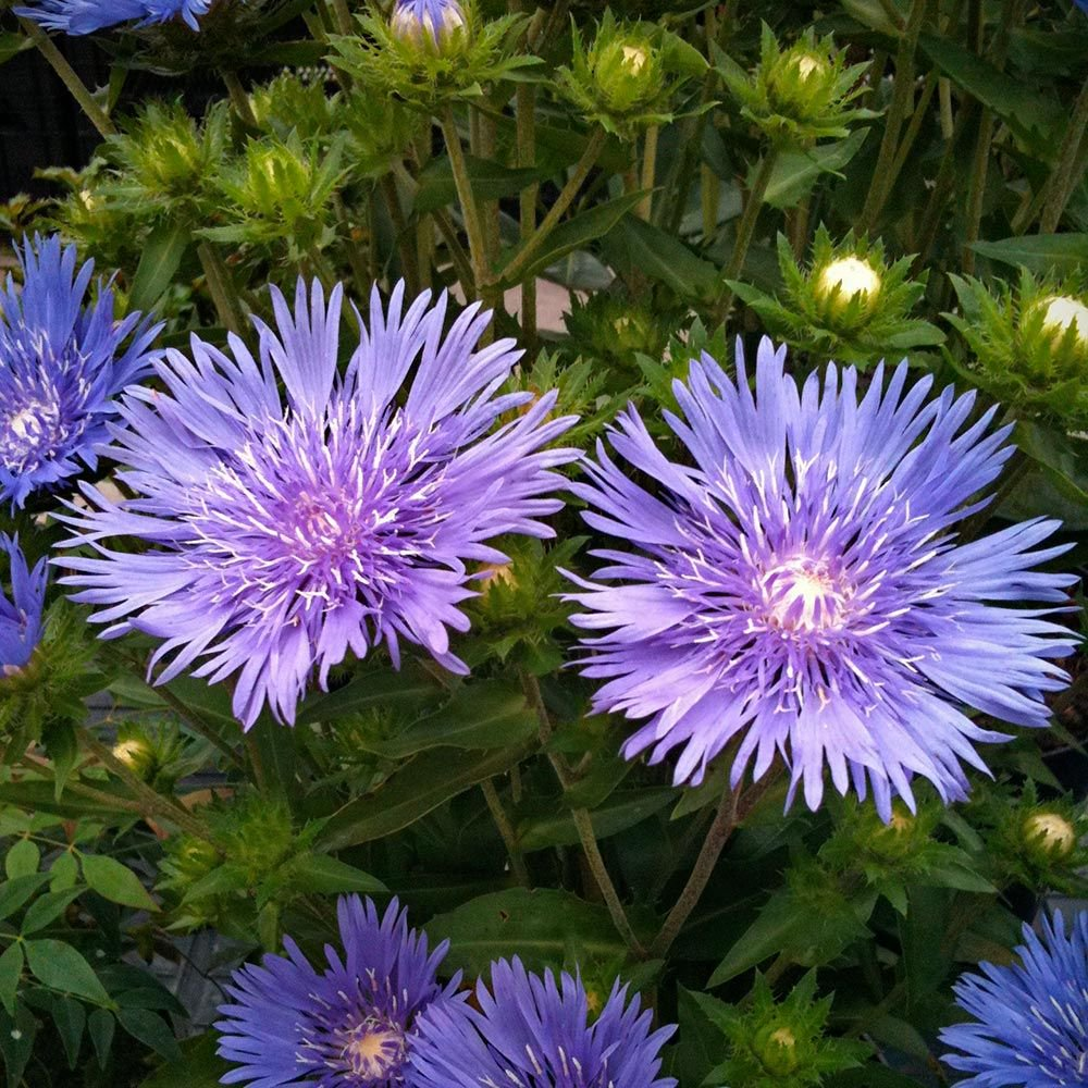 Stokesia 'Mel's Blue'