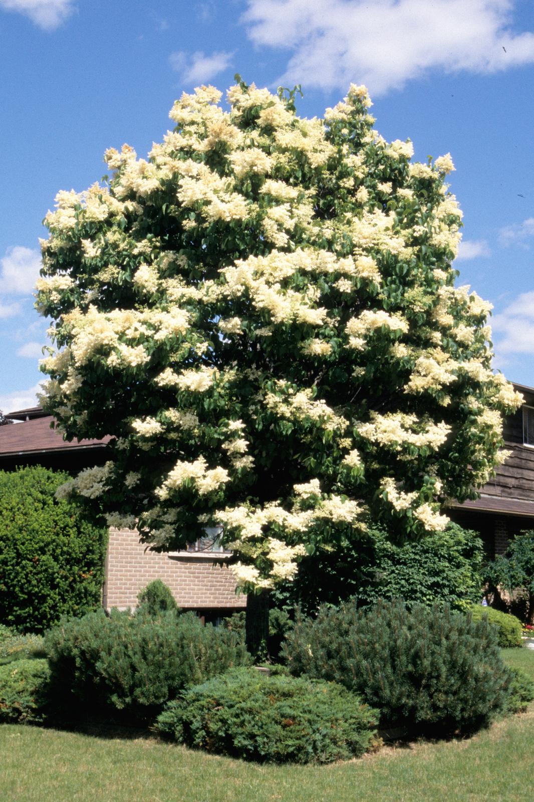 Syringa reticulata 'Ivory Silk'