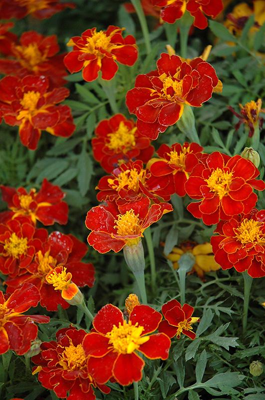 Tagetes Safari Red