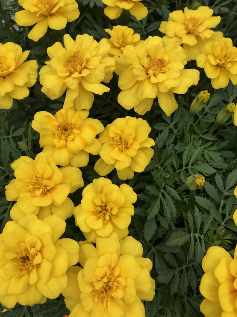 Tagetes Safari Yellow