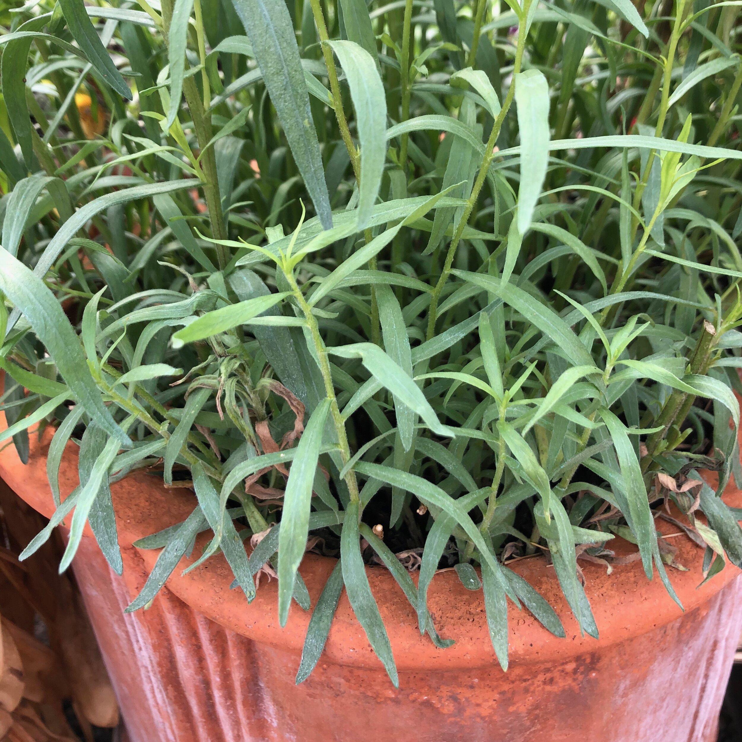 Tarragon - Artemisia dracunculus var. sativa 'French'