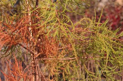 Taxodium ascendens 'National Road'