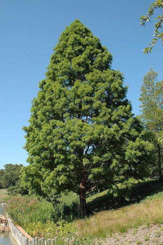 Taxodium d.'Shawnee Brave'