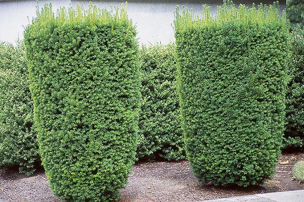 Taxus 'Hicksii'