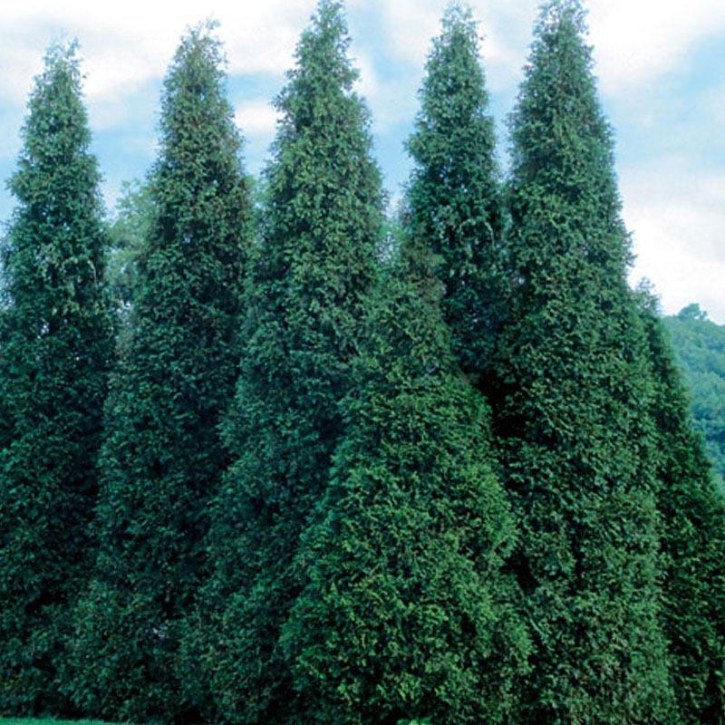 Thuja occidentalis 'Wintergreen'