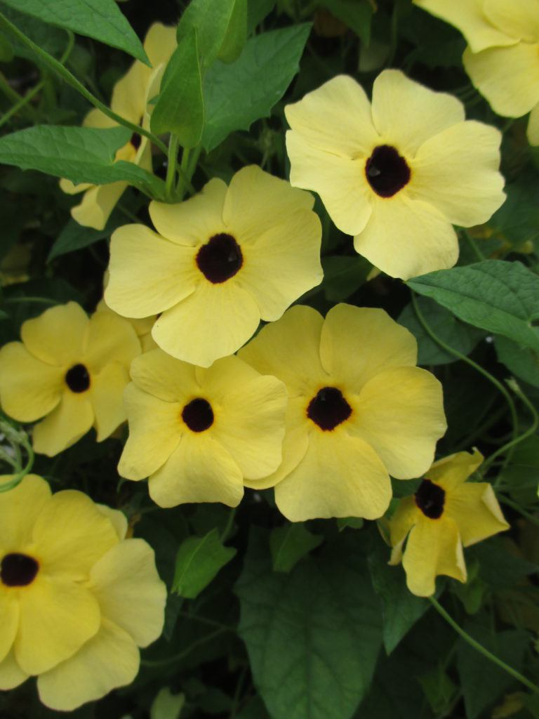 Thunbergia 'Sunny Susy Yellow Dark Eye'