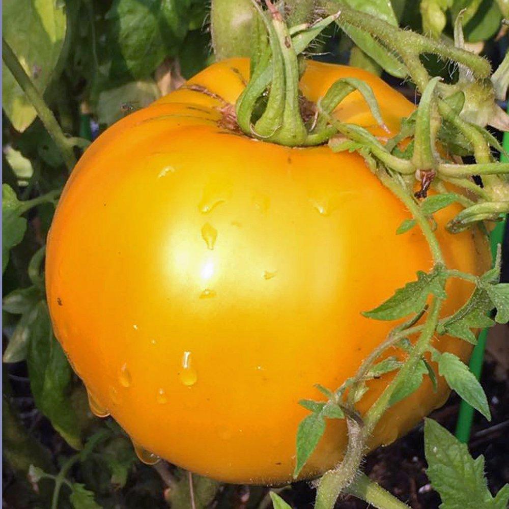 Tomato 'Golden Jubilee'