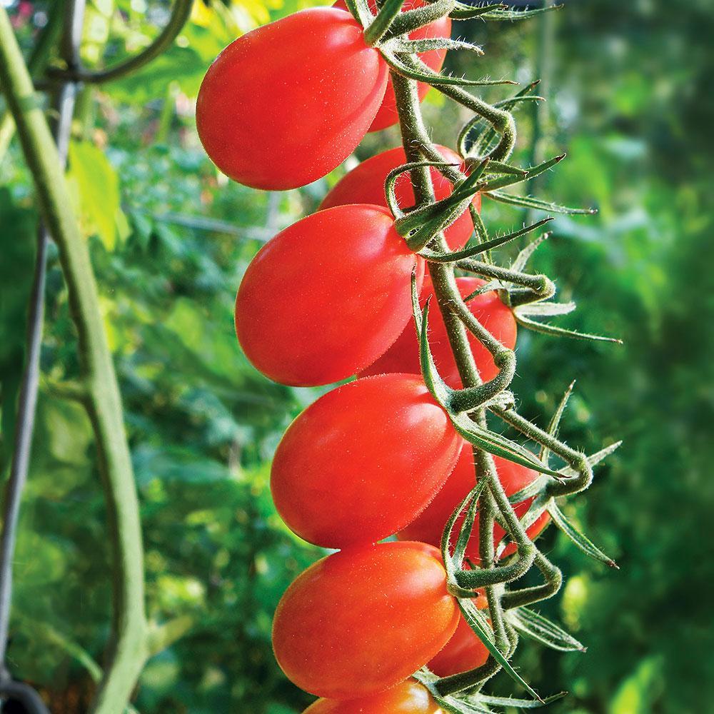 Tomato 'Grape'