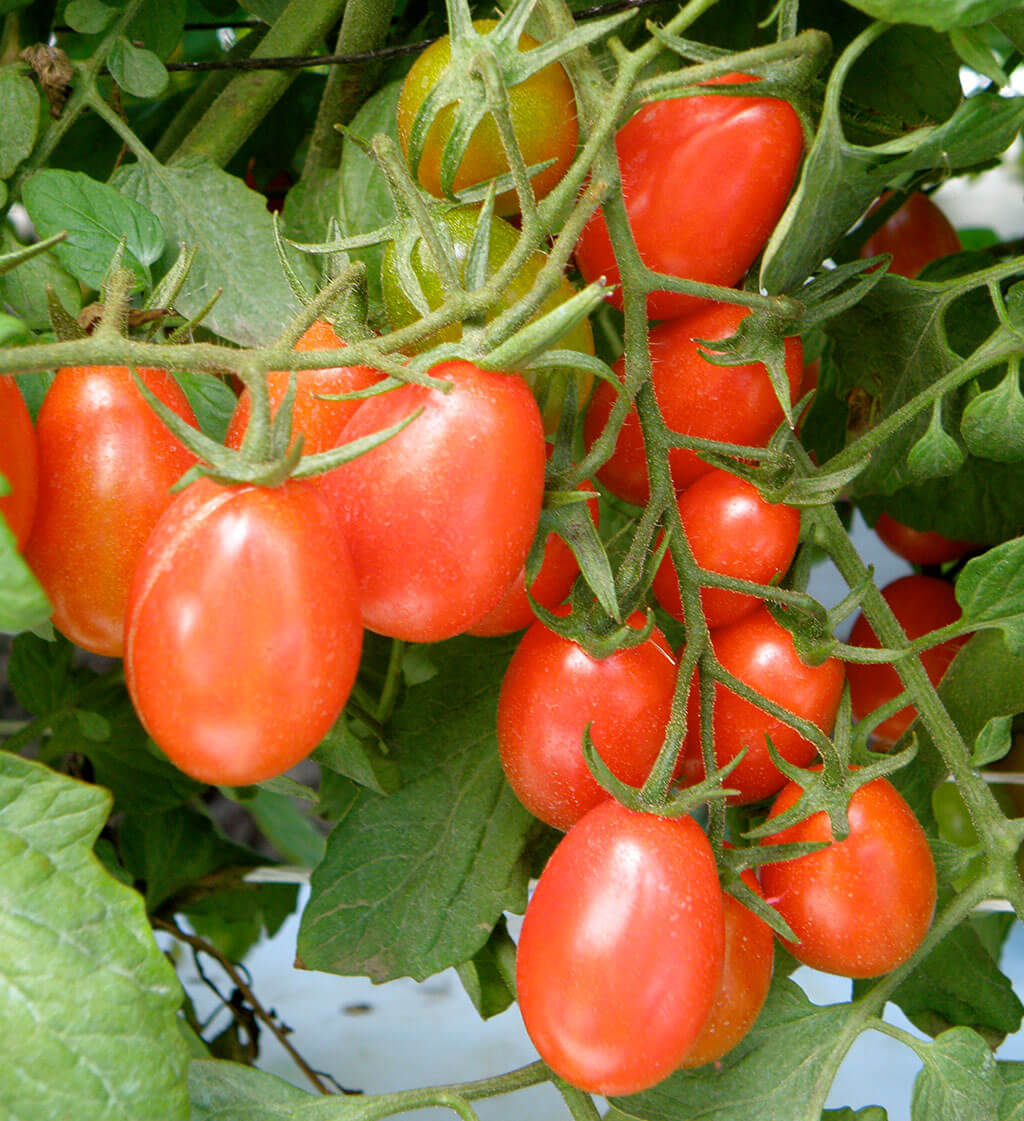 Tomato 'Grape Red'