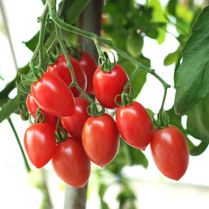 Tomato 'Sugary'