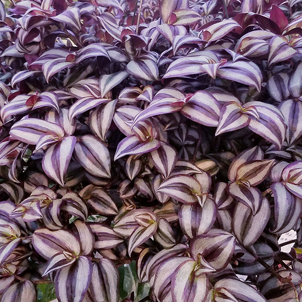 Tradescantia zebrina 'Purple'