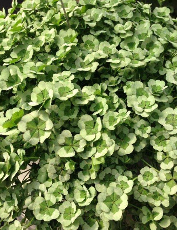 Trifolium 4 Luck 'Green Glow'
