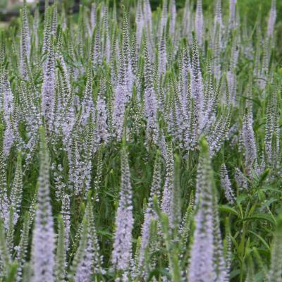Veronicastrum 'Lavender Towers'