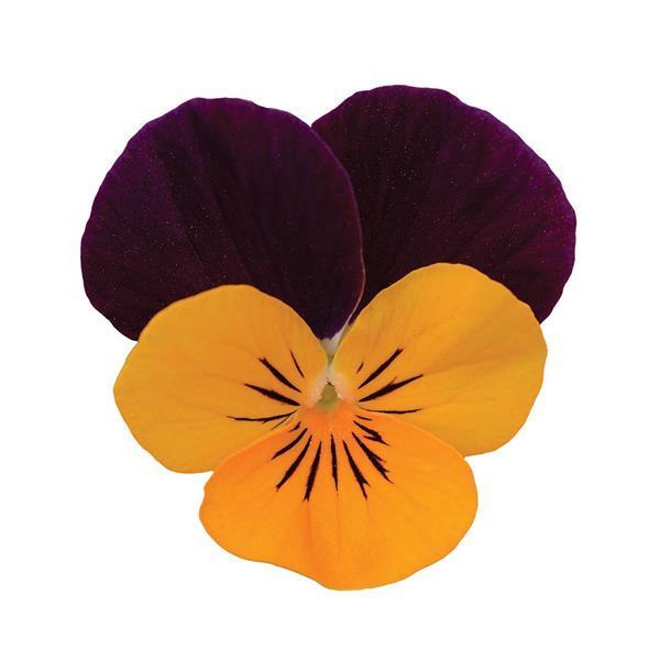 Viola Sorbet XP Orange Jump-Up