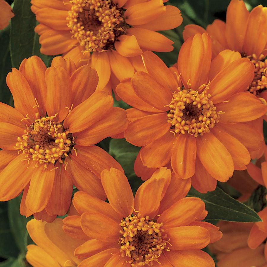 Zinnia Profusion Orange