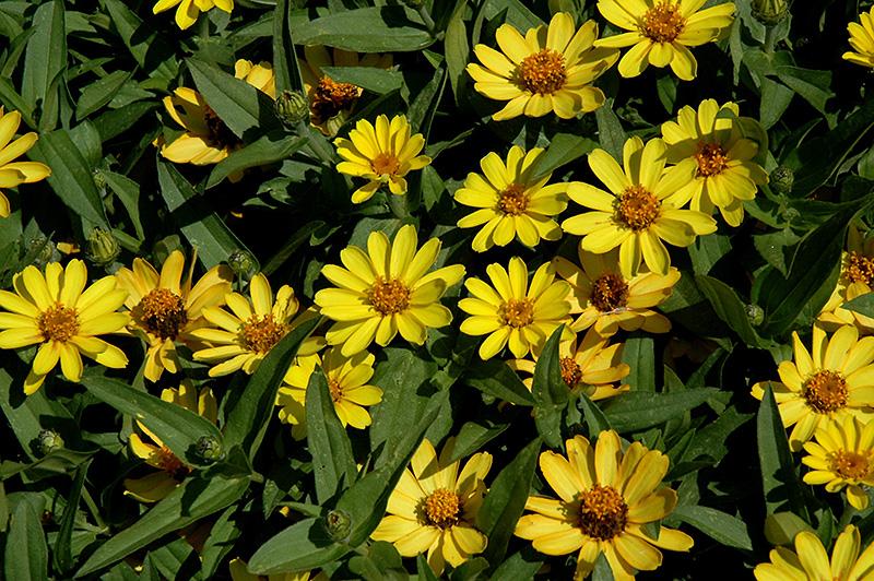 Zinnia 'Profusion Yellow'
