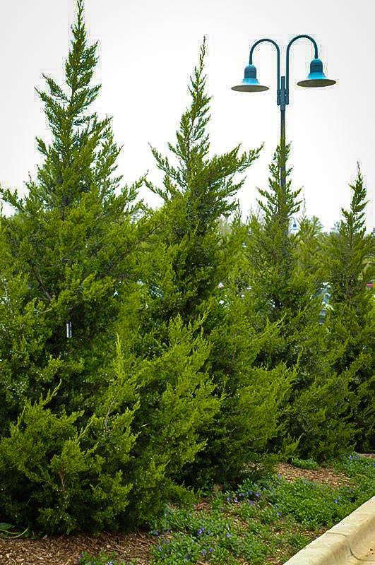 Juniperus chinensis 'Hetzii Columnar'